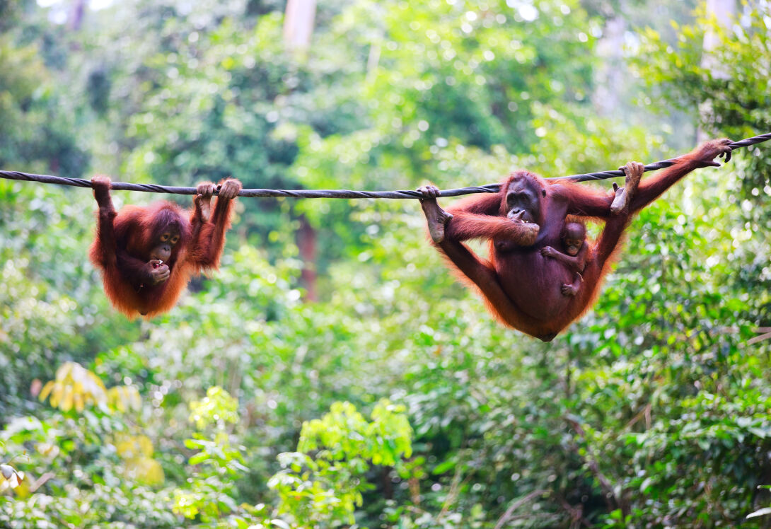 Catch exhilarating glimpses of orang-utans in Sumatra