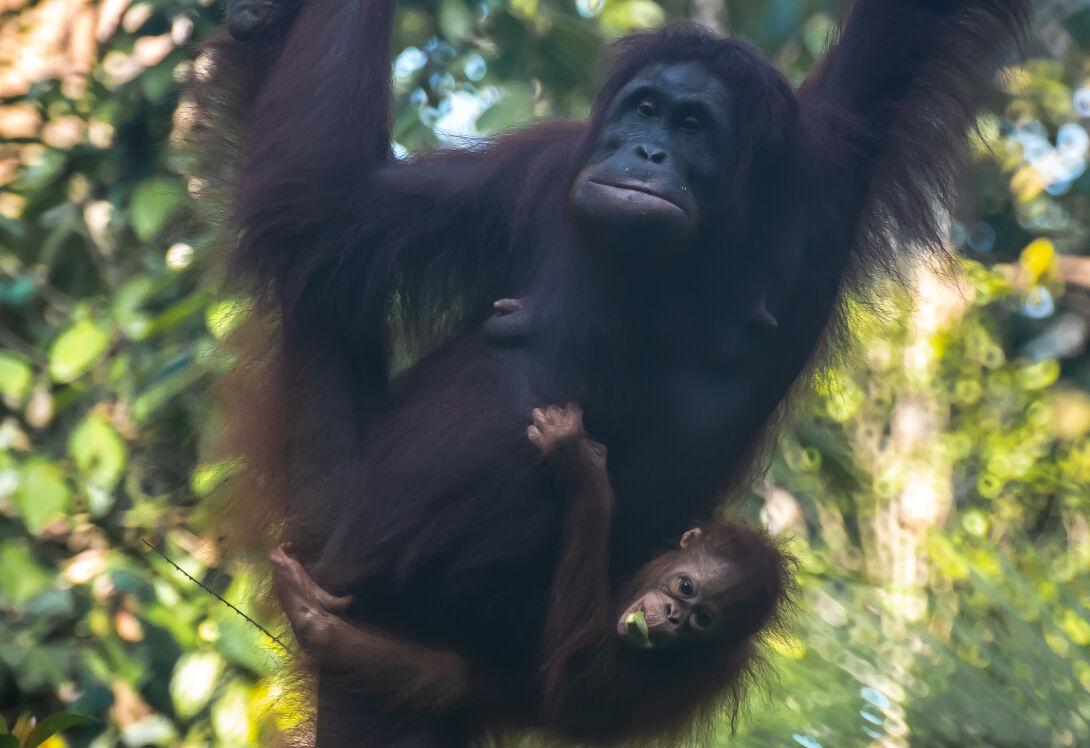 Orangutan experiences borneo