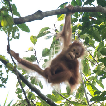 where to see orangutans in the wild