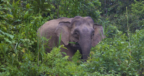 Elephant in Sabah