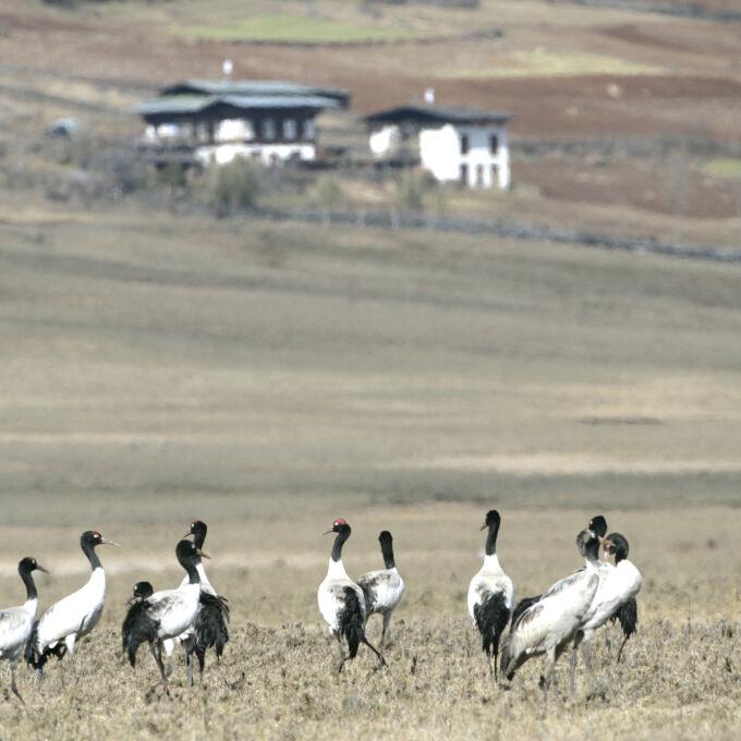 Himalayan Black-Necked Cranes in Bhutan