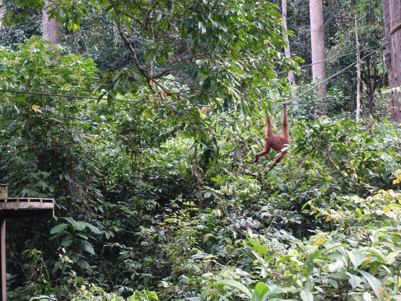 Orang-utan explores, Borneo