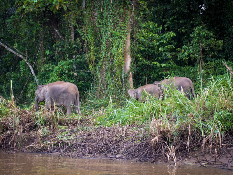 Pygmy elephants by the river in Borneo's rainforest