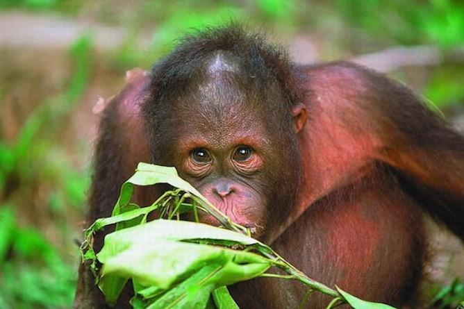 The nearby orang-utan sanctuary